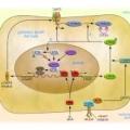 Дослідники знайшли білок, що приводить до безпліддя