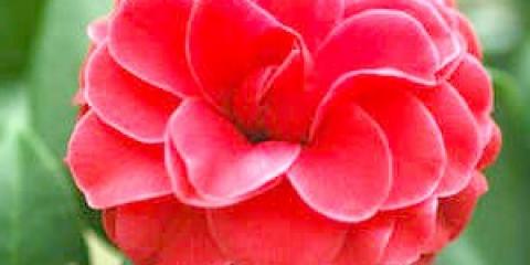 Камелія - як доглядати за розкішним квіткою у вашому будинку (фото, відео)